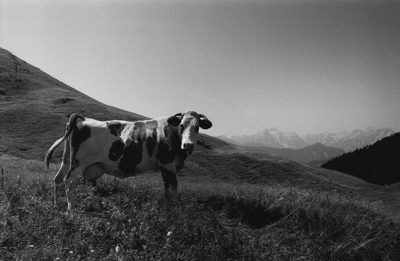Landscape photograph of cow on the meadow, Near Golica hill, Karavanks, Julian Alps in the background, Slovenia